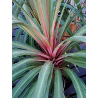 Cordyline Sunset