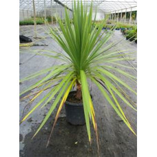 Cordyline australis Cabbage Tree