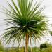 Cordyline australis Cabbage Tree