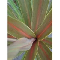 Cordyline australis Pink Dazzler