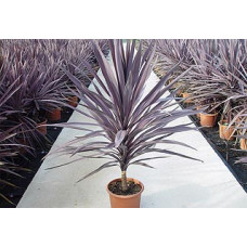 Cordyline australis Red Sensation
