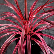 Cordyline australis Sunrise