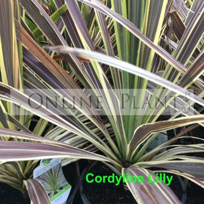 Cordyline Lilly