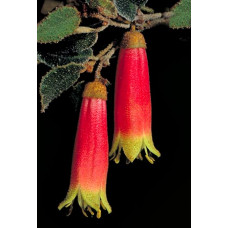 Correa Reflexa Tall Red