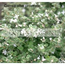 Correa Alba Prostrate