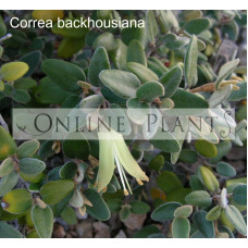 Correa Backhousiana