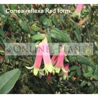 Correa Reflexa Redex