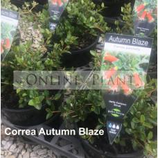 Correa Autumn Blaze
