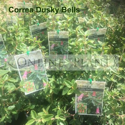 Correa Dusky Bells