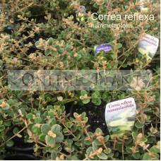 Correa Reflexa Nummularifolia