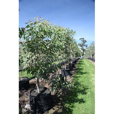 Corymbia Eximia yellow bloodwood