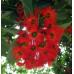 Corymbia Ficifolia Baby Scarlet