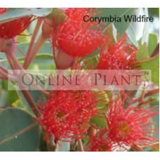 Corymbia Wildfire