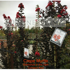 Lagerstroemia indica Diamonds in the Dark® 'Crimson Red™