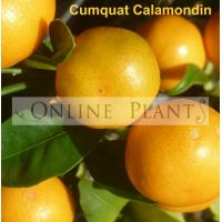 Citrus tree Cumquat Calamondin