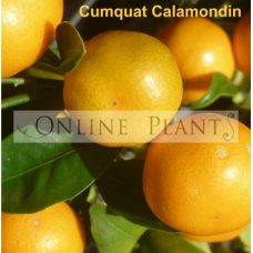 Citrus tree Cumquat Calamondin