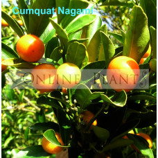 Citrus tree Cumquat Nagami