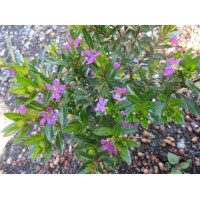 Cuphea hyssopifolia Robs Mauve
