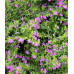 Cuphea hyssopifolia violet