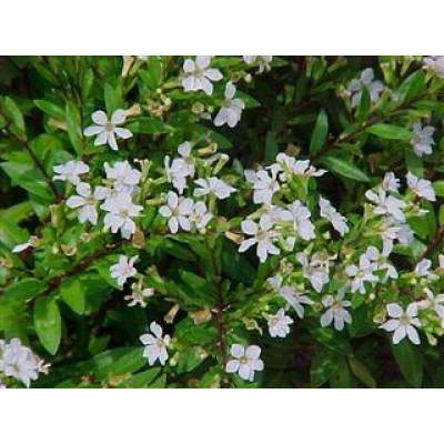 Cuphea hyssopifolia white