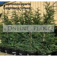 Cupressocyparis Leylandii Leightons Green
