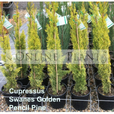 Cupressus Swanes Golden Pencil Pine