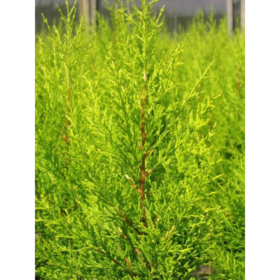 Cupressus macrocarpa, Golden Pillar