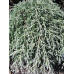 Cupressus macrocarpa, Greenstead Magnificant