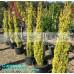 Cupressus Swanes Golden Pencil Pine
