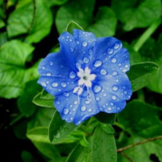 Dampiera Diversifolia