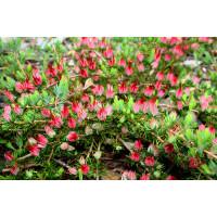 Darwinia Grandiflora