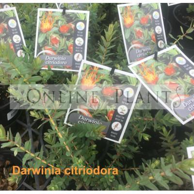 Darwinia Citriodora