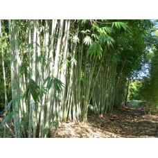 Dendrocalamus Minor var. Amoenus, Ghost Bamboo