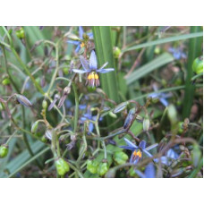 Dianella  Coast Flax Lilly