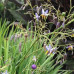 Dianella King Alfred