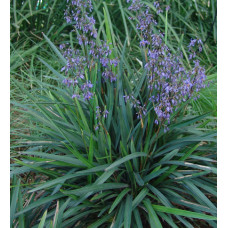 Dianella Paroo Lilly