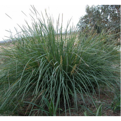 Dianella Blue Flax Lily