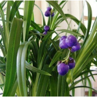 Dianella Weeping Kate