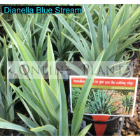 Dianella Blue Stream