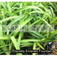 Dianella Emerald Fountain