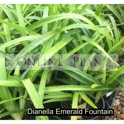 Dianella Emerald Fountain