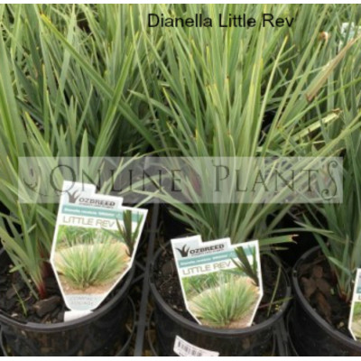 Dianella Little Rev