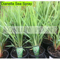 Dianella Seaspray