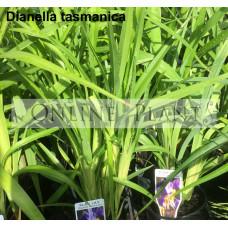 Dianella Tasman flax lily
