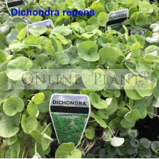 Dichondra Repens Kidney Weed