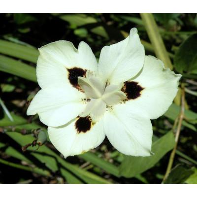 Dietes Bicolour Spanish Iris