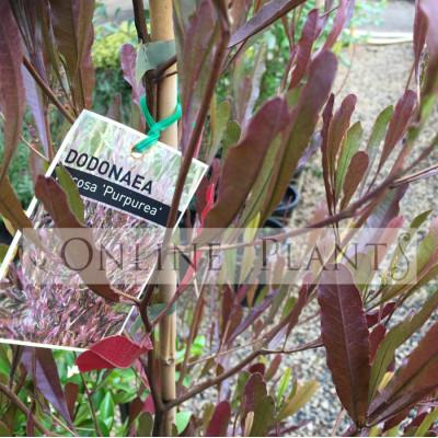 Dodonaea viscosa purpurea Hop Bush