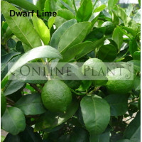 Citrus tree Dwarf Lime