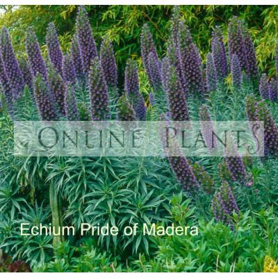 Echium candicans Pride of Madera