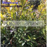 Eleocarpus reticulatus Blueberry Ash Quandong